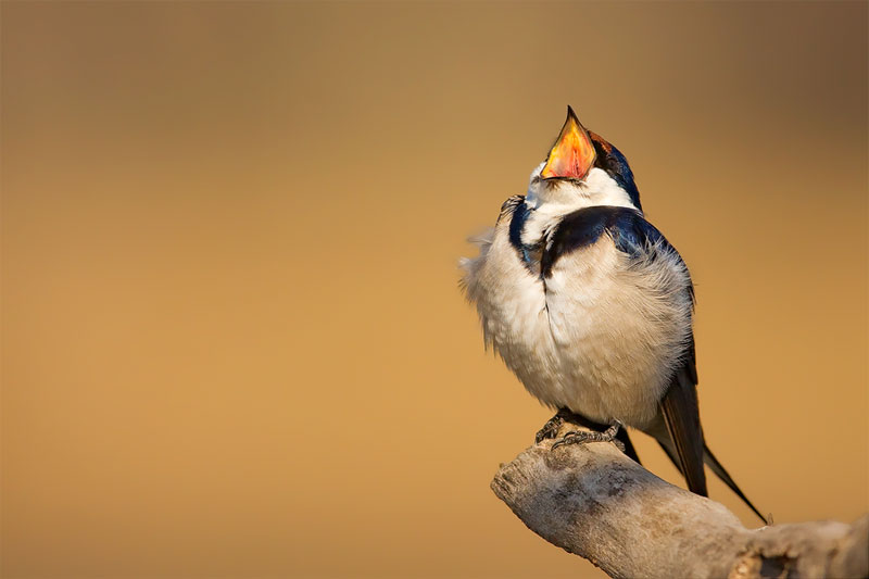 Swallow-IMG_5875